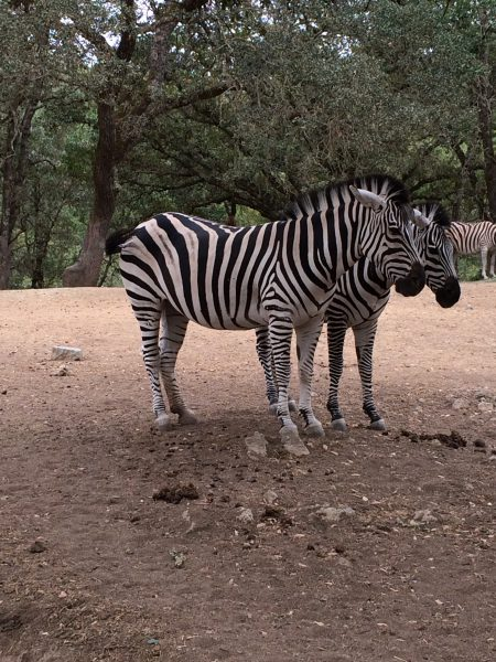 Beautiful Zebra at Safari West